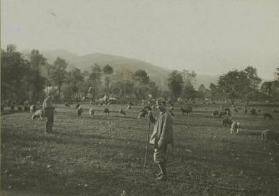 Mouton au paturage 14 octobre 1916